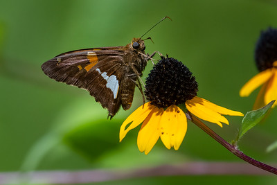Silver Spotted Skipper 06