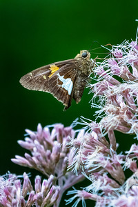Silver Spotted Skipper 03