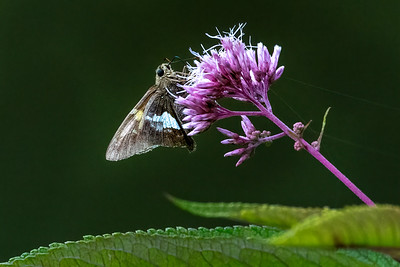 Silver Spotted Skipper 02