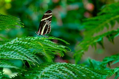 Butterfly - 006 Zebra Long Wing