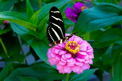 Butterfly 027  Zebra Long Wing