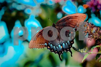 Beautiful Buterfly Blues