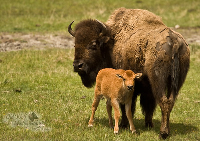 Bison Cow Calf, Yellowstone