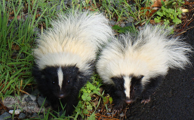 Baby skunks, Poconos PA 4