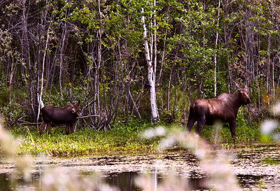 Moose cow and calf, Alaska 2