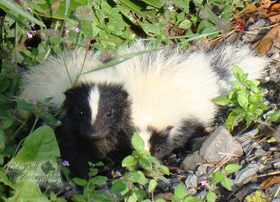 Baby skunks, Poconos PA 2