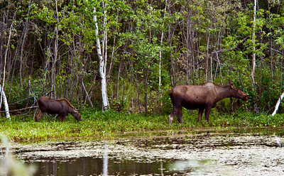 Moose cow and calf, Alaska