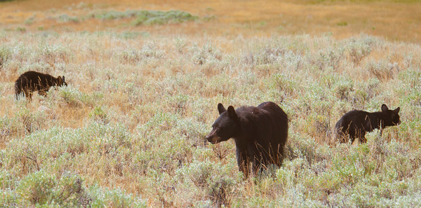 Black Bear Sow with 2 Coy at Black Tail Plateau