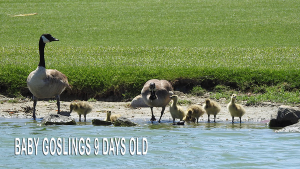 Video of Baby Goslings 9 Days Old
