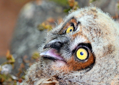 Baby Great Horned Owls