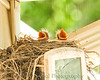 020 Baby Robins Spring 2013