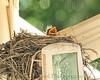 013 Baby Robins Spring 2013