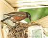 005 Baby Robins Spring 2013