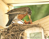 015 Baby Robins Spring 2013