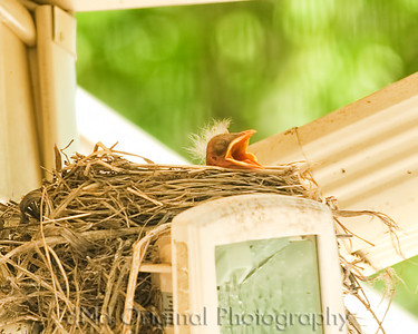 021 Baby Robins Spring 2013