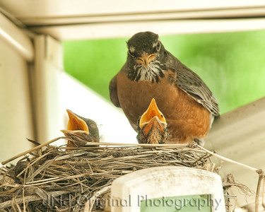 045 Baby Robins Spring 2013