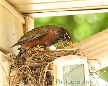 017 Baby Robins Spring 2013