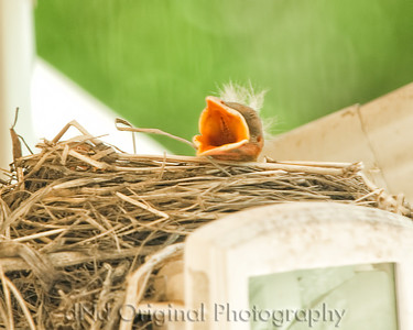 031 Baby Robins Spring 2013