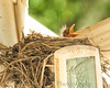016 Baby Robins Spring 2013