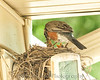 004 Baby Robins Spring 2013