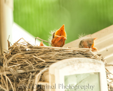 032 Baby Robins Spring 2013