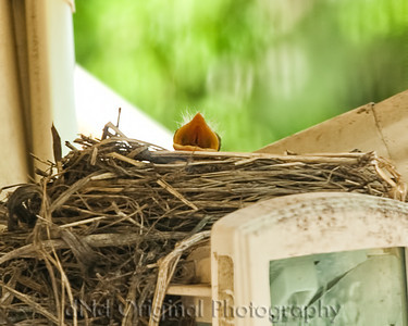 008 Baby Robins Spring 2013