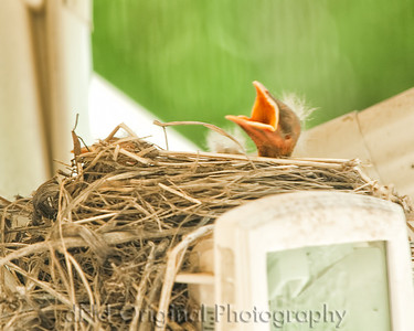 030 Baby Robins Spring 2013
