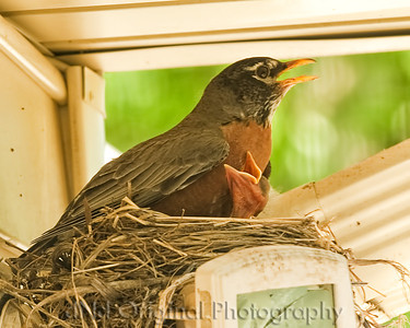 024 Baby Robins Spring 2013