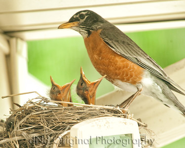 043 Baby Robins Spring 2013