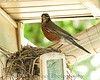 009 Baby Robins Spring 2013