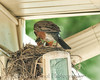 001 Baby Robins Spring 2013