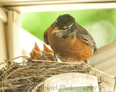 044 Baby Robins Spring 2013