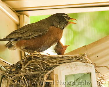 025 Baby Robins Spring 2013