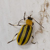 Striped Cucumber Beetle (?).  About 1/4 inch long.