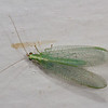 Green Lacewing.  Note the bright red eyes.