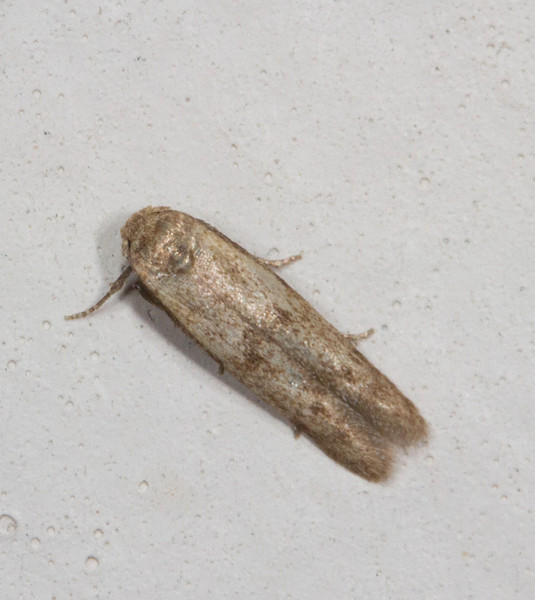 This little moth was about 1/4 inch long.