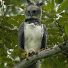 We came across the juvenile Harpy Eagle on our first day hiking in Soberania National Park.