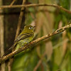 Yellowish Flycatcher seen on the Culebra Trail in Boquete, Panama - Jan. 2011