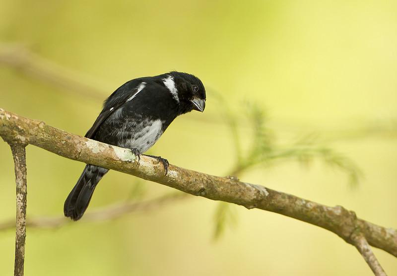 Variable Seedeater seen in El Valle de Anton on 1/17/11 accompanied by Panama birding expert, Mario Bernal Greco.