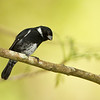 Variable Seedeater seen in El Valle de Anton on 1/17/11 accompanied by Panama birding expert, Mario Bernal Greco.