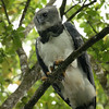 This Harpy Eagle's talons on only one indicator of his magnificence.