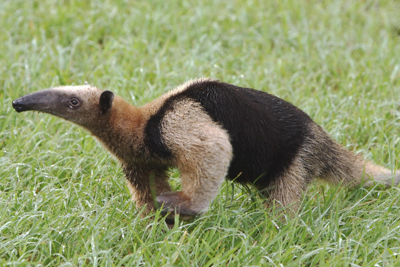 Breakfast is still clinging to the chin of this anteater seen outside of Panama City, Panama.