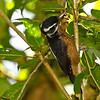 We think this is a Hairy Woodpecker seen in Panama in Jan. 2011