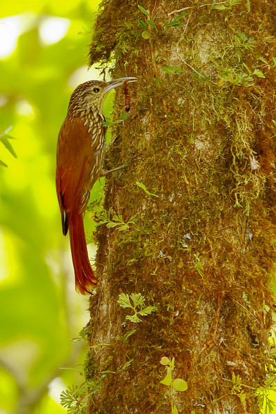 Long-tailed Woodcreeper - Boquete, Panama - Jan. 2011