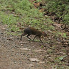 Though somewhat shy and elusive, this is one of several Central American Agoutis seen while hiking Pipeline Road in Soberania National Park.