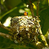 Baby Scintillant Hummingbird in nest in a coffee tree on the property of Finca Lerida in Boquete, Panama.  Taken on 1/20/11.