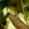 Yellowish Flycatcher seen on the Culebra Trail in Boquete, Panama on 1/20/11.