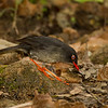 Slaty-backed Nightingale-Thrush - Panama - Jan. 2011
