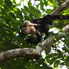 This baby White-Faced Capuchin was holding on to mama, but also curious about us as we passed under them on Pipeline Road in Panama.