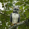 The Harpy Eagle, Panama's National Bird taken on Pipeline Road Panama 7/13/08